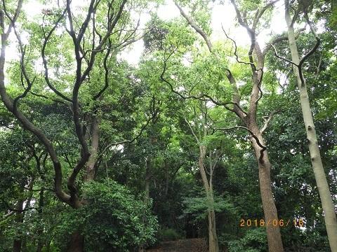 大井緑道樹林