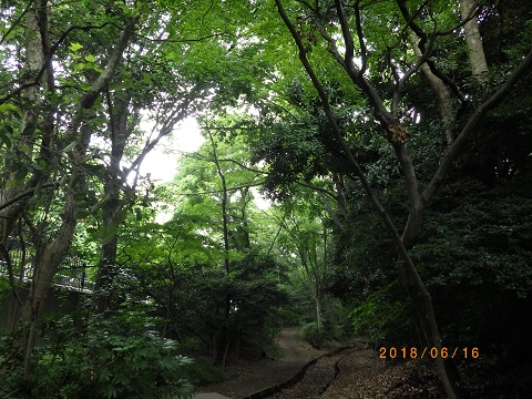 大井緑道樹林4